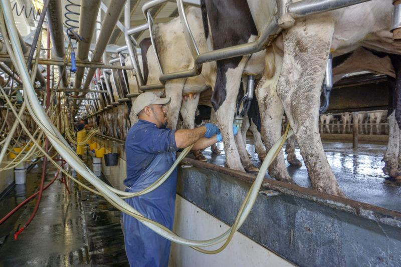 Arturo Acosta Linares works in the milking barn at Ten Mile Grade Dairy.
