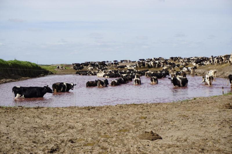 Cows at Ten Mile Grade Dairy in Zolfo Springs